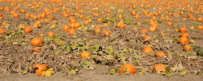 Pumpkin Patch Royalty Free Stock Photos