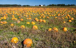 Pumpkin patch. Colorful pumpkins sit in a field ready for picking Stock Photo