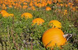 Pumpkin patch. Colorful pumpkins sit in a field ready for picking Stock Image