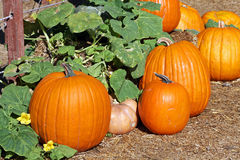Pumpkin patch. Several pumpkins are on the ground at the pumpkin patch royalty free stock photography