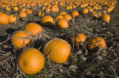 Pumpkin Patch. A pumpkin patch ready for harvesting Royalty Free Stock Image
