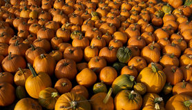 Free Pumpkin Patch Royalty Free Stock Image - 1276986