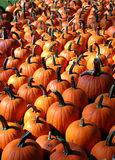 Pumpkin Patch. These pumpkins are arranged in diagonal lines bunched together Royalty Free Stock Photography