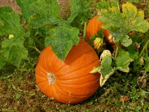 Pumpkin Patch Stock Images