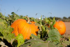 Pumpkin Patch. Close up of pumpkin patch on a farm stock photos
