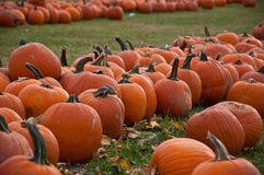 Pumpkin Patch. A plentiful amount of pumpkins Royalty Free Stock Image