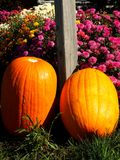 Pumpkin Patch. Pumpkins in flower patch Royalty Free Stock Photography