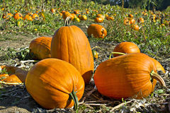 Pumpkin Patch 2 Stock Images
