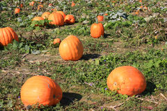 Pumpkin Patch. Colorful pumpkins in a field Royalty Free Stock Photos