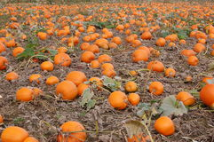 Pumpkin patch. October 2, 2011 Royalty Free Stock Images