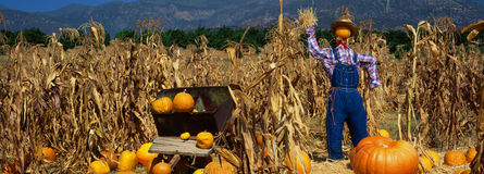 Pumpkin Patch. This is a Pumpkin Patch at the Boccali's Ranch. There is a scarecrow in a straw hat and overalls next to a wheelbarrow and tall corn stalks. It is royalty free stock photography