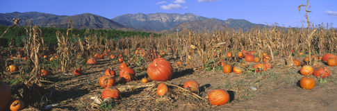 Free Pumpkin Patch Royalty Free Stock Photography - 23171177