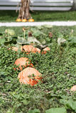 Pumpkin Patch Royalty Free Stock Image