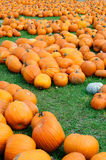 Pumpkin Patch. Thousands of Pumpkins in a Pumpkin Patch during the Fall Royalty Free Stock Photography