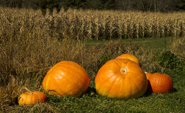 Pumpkin patch. Different size pumpkins on a pumpkin patch in autumn royalty free stock images