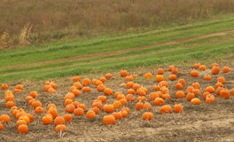 Pumpkin patch. Ready for picking royalty free stock photos