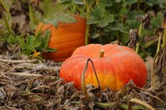 Pumpkin Patch. Two pumpkins in a pumpkin patch royalty free stock photo