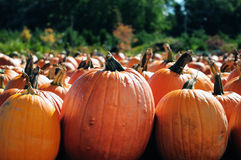 Pumpkin Patch. A collection of pumpkins have been collected for fall harvest from a local pumpkin patch stock photos