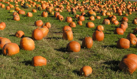 Pumpkin Patch. Well, they called it a pumpkin patch - it looks like a bunch of harvested pumpkins laying in a field to me Royalty Free Stock Photos