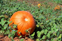 Pumpkin Patch. This large pumpkin sits alone in a vibrant pumpkin patch stock photos