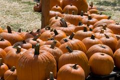 Pumpkin patch. With various sized orange pumpkins Stock Image
