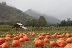 Pumpkin Patch. Landscape orientation of a pumpkin patch in October stock images