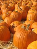 Pumpkin Patch. Pumpkins in Pumpkin patch ready for purchase, portrait orientation Royalty Free Stock Photos