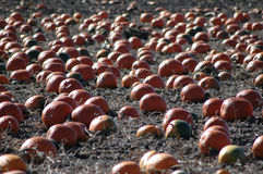 Pumpkin patch. In October Stock Photo