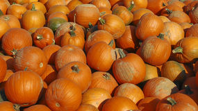 Pumpkin Patch. At a local farm Royalty Free Stock Images