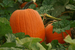 Pumpkin Patch 63. Orange beauties growing in their natural state Royalty Free Stock Photos