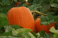 Pumpkin Patch 63 Royalty Free Stock Photos