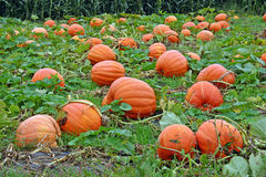 Pumpkin Patch. Pumpkins in a pumpkin patch in New York stock photography