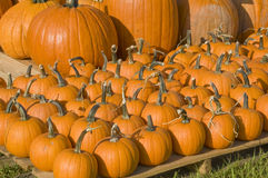 Pumpkin patch. With a variety of pumpkins gourds and squash in different sizes and colors Royalty Free Stock Images