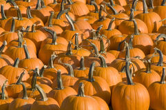 Pumpkin patch. With a variety of pumpkins gourds and squash in different sizes and colors Stock Photography