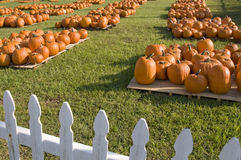 Pumpkin patch. With a variety of pumpkins gourds and squash in different sizes and colors Stock Photo