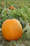 Pumpkin Patch. A close up view of a pumpkin in a pumpkin patch Stock Photo
