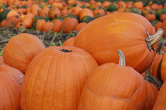 Pumpkin patch. Mounds of pumpkins in a pumpkin patch royalty free stock photography