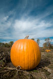 Pumpkin in patch. Single pumpkin in farm patch with blue sky background Stock Photography