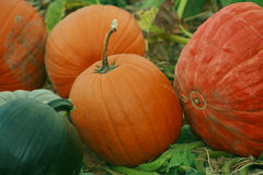 Pumpkin Patch 82. Orange beauties growing in their natural state Royalty Free Stock Photo
