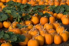 Pumpkin Patch. A pumpkin patch in the evening light Royalty Free Stock Photography