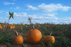 Pumpkin Patch. Threee perfect pumpkins picked on a sunny day in the pumpkin patch stock photos