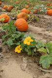 Pumpkin Patch. Pumpkin and blossom in a pumpkin patch Royalty Free Stock Photography