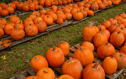 Pumpkin patch in the autumn Royalty Free Stock Photos