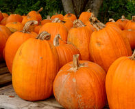 Pumpkin patch in the autumn Stock Photo