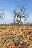 Pumpkin Patch in Autumn Royalty Free Stock Photo