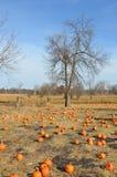 Pumpkin Patch in Autumn. This is a pumpkin patch in autumn. This is in Minnesota Royalty Free Stock Photo