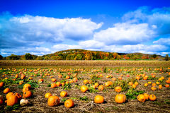Pumpkin Patch during Autumn. In North America Royalty Free Stock Image