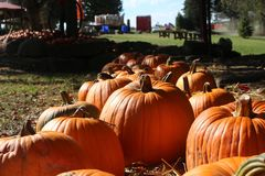 Pumpkin patch in autumn. A pumpkin patch in the autumn sun royalty free stock images