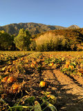 Pumpkin Patch. On a blue sky during sunset Royalty Free Stock Photography