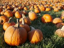 Bunch of pumpkins at the patch. Pumpkin patch in California Royalty Free Stock Images